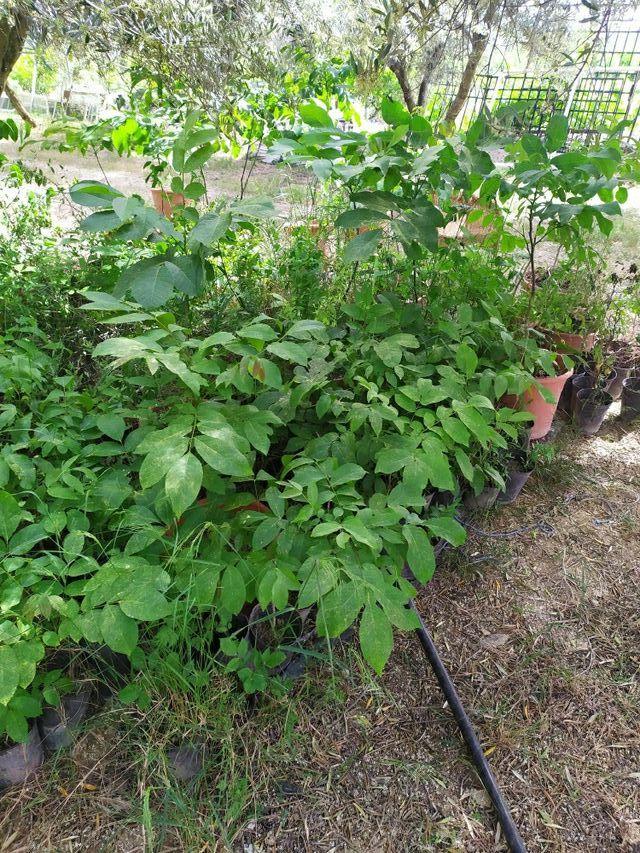 planta nogal