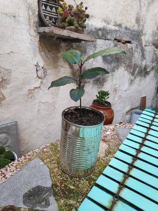 Laurel árbol