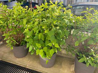 4 Hydrangeas and their flower pots