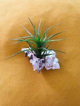 Tillandsia Bergeri (clavel del aire) con caracola