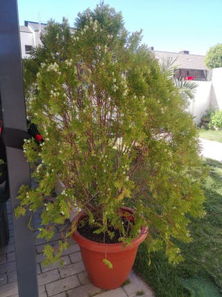 planta thuja tipo pino