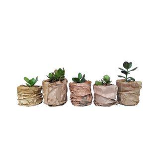 Planta de jade en maceta de plastico (5 unidades)
