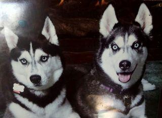 imagen de huskies