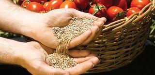 Semillas de tomate de varias clases