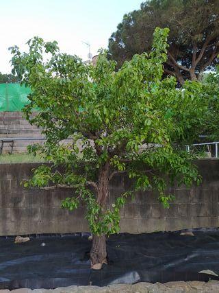 Peras de San Juan (árbol)
