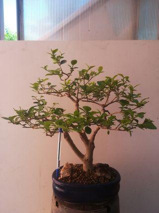Bonsai de Alibustre