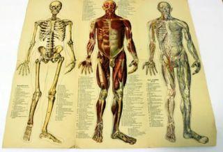 Antigua Lamina de anatomía humana años 20'