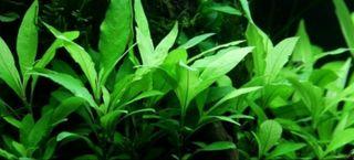 Hygrophila Siamensis, planta de acuario