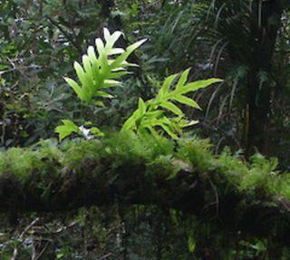Zeolandia Pustulata, planta de paludario y acuario