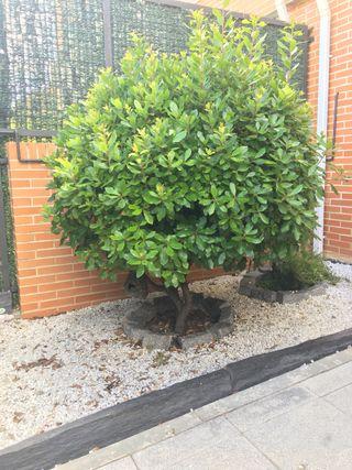 Árbol madroño enano