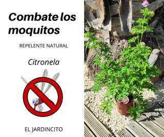 Citronela (planta antimosquitos)