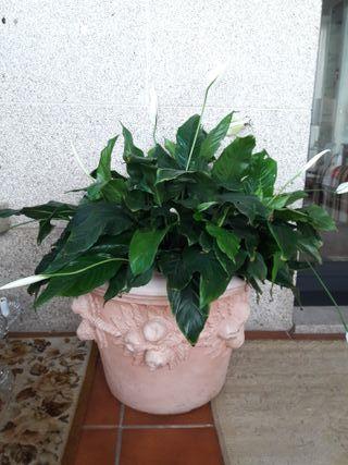 maceta +planta