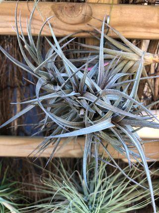 Tillandsia aeranthos amethyst