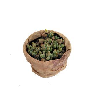Planta de echeveria en maceta de 10 cm