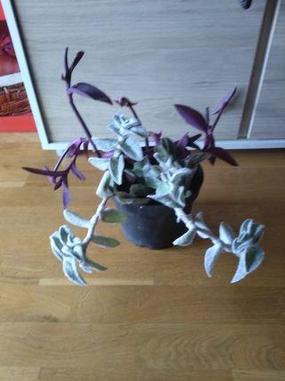 2 Plantas en 1 Maceta, Tradescantias
