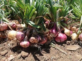 Se venden manojos de cebollas 4kg / 4€.