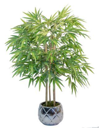 Bambú 1,05 m (Planta para Decoración)