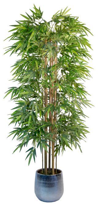 Bambú 1,8 m (Planta para Decoración)
