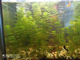 anubias de acuario
