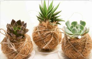 Kokedamas plantas, cactus y crasas