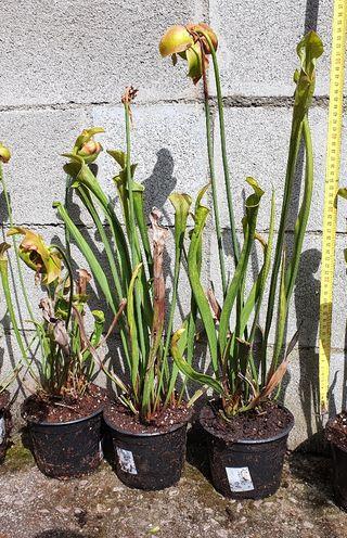 Plantas carnívoras híbridos sarracenia