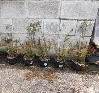 Planta carnívora Drosera Multifida