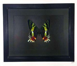 Véritable papillon monté sous cadre