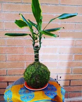 Plantas de interior Kokedama