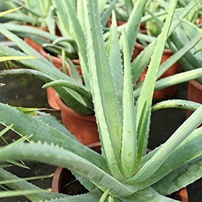 Aloe vera planta 3 años 60cm alto