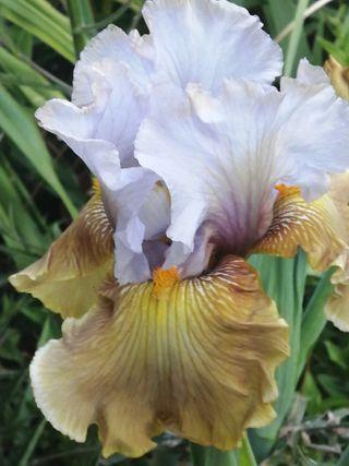 "iris ""grande coquette"""