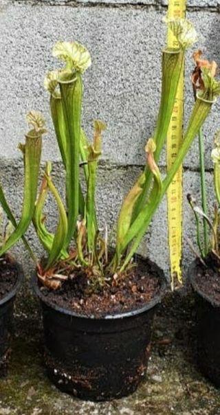Pack plantas carnívoras