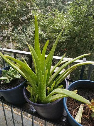 planta aloe vera en tiesto