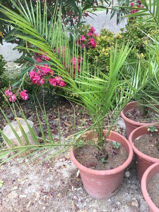 Palmera de jardín