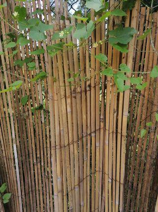 Regalo caña de bambú SOLO HOY!