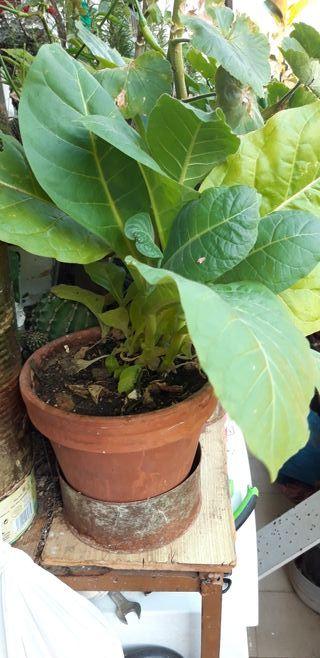 plantas semillas de tabaco