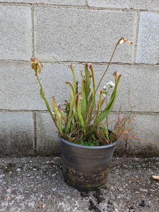 Planta carnívora Sarracenia Minor + Binata