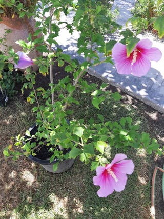 2 Hibiscus Syriacus