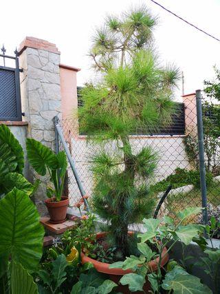 pino canario