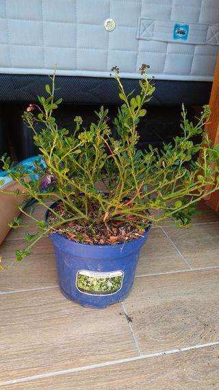 planta arbusto en maceta de 13 cm