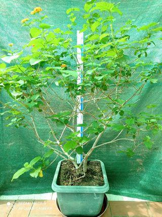 Planta Lantana