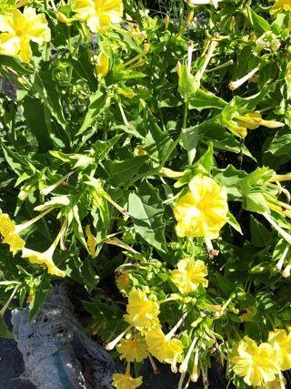 semillas de sanpedro