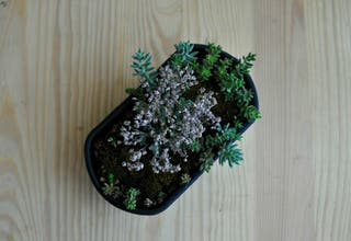 Kusamono con plantas crasas