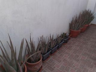 Plantas de Aloe vera (Varios tamaños)