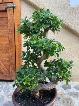 Ficus Macro Bonsai