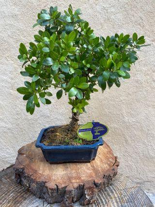 Bonsai Rhododendron Azalea 8 años