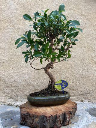 Bonsai Ficus 11 años