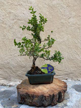 Bonsai Ilex Acebo de Japón