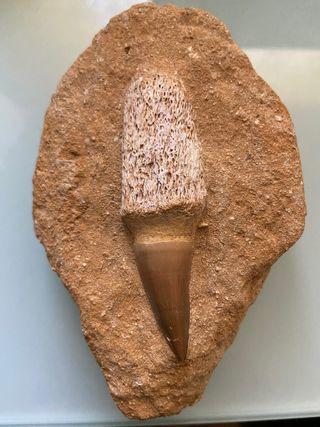 Fósil diente de tiburón