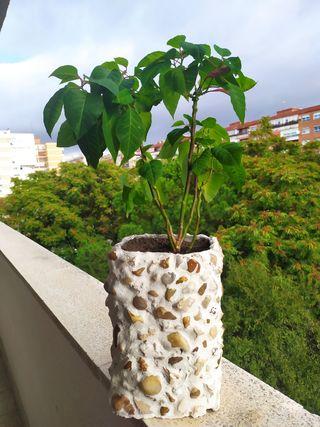 maceta/planta/Flor de Pascua Poisentia