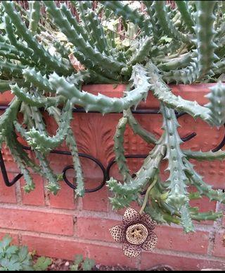 Planta Stapellia variegata